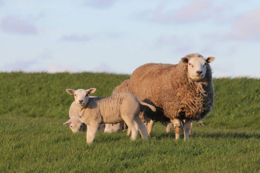 Selective breeding of sheep