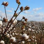 3 reasons why cotton is not sustainable
